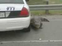 Alligator sur la route