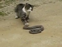 Chat contre serpent